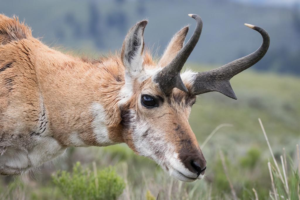 IMAGE: https://photos.smugmug.com/Yellowstone-2016/i-t4N2R7C/0/XL/z%20ys%206-268-XL.jpg