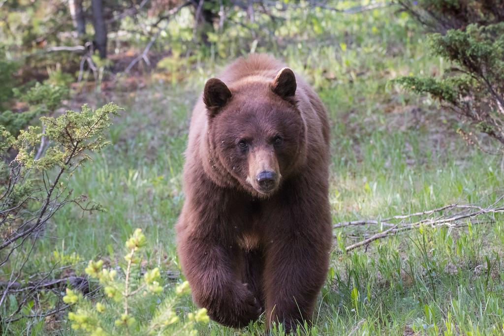 IMAGE: https://photos.smugmug.com/Yellowstone-2017/i-2z9mqCn/0/f69181b2/XL/Y06072017-7770-3-XL.jpg