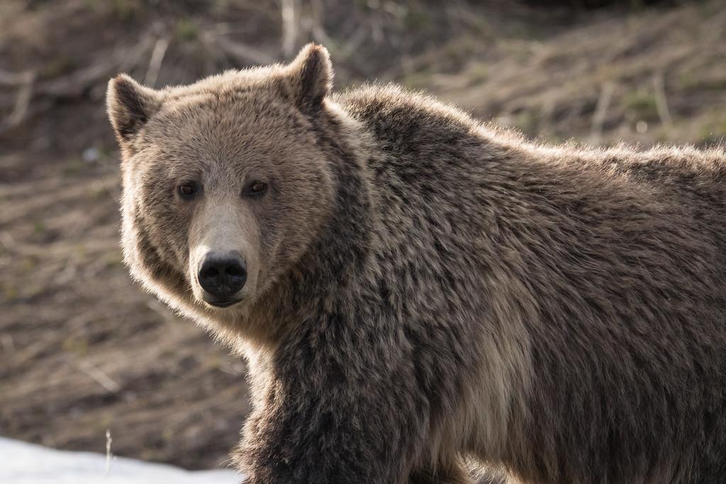 IMAGE: https://photos.smugmug.com/Yellowstone-2017/i-5dj87Rg/0/a5bb0aec/XL/Y06162017-4094-XL.jpg