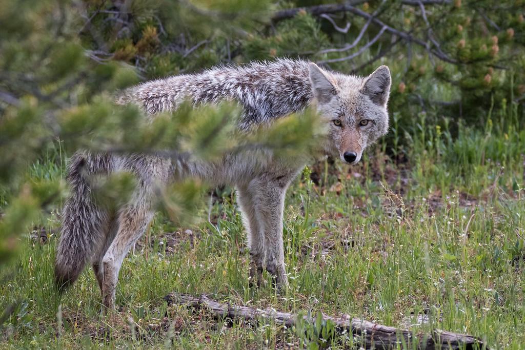 IMAGE: https://photos.smugmug.com/Yellowstone-2017/i-T9c7fmw/0/7b730984/XL/Y06102017-8902-XL.jpg