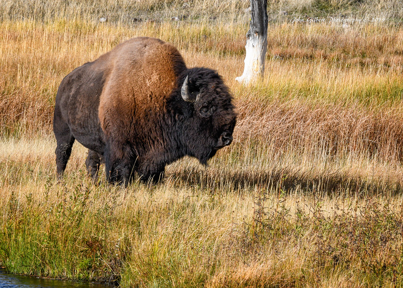 American Bison #3