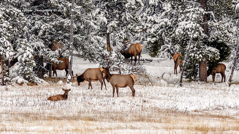 Elk Band