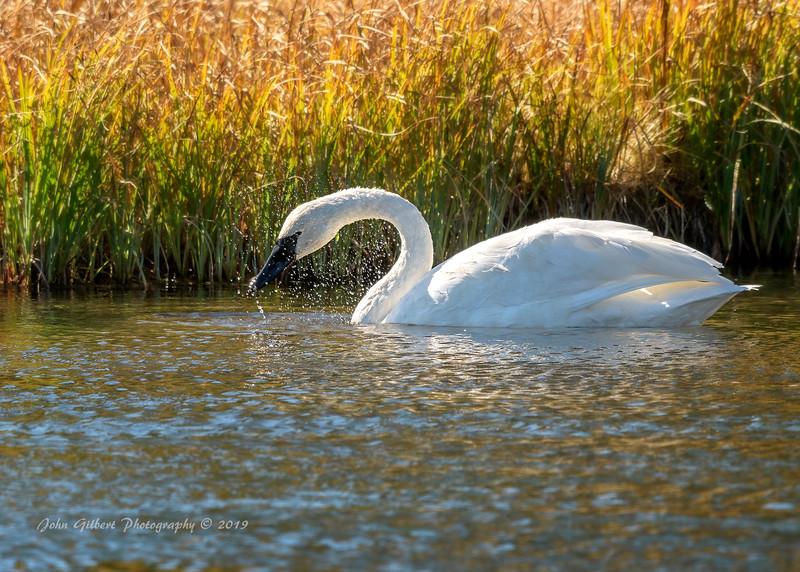 Trumpeter Swan #2
