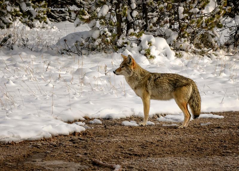 Coyote #4