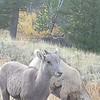 Female Big Horn Sheep