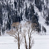 Lamar Valley trees