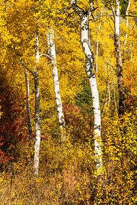 Fall Colors in Grand Teton