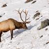 Stag Elk