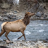 Cow Elk along Gardner River (Boiling River Trail)
