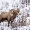 Big-horn Sheep