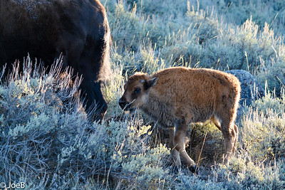 Bison - Young calf for late October