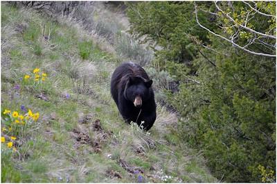 Yellowstone NP - May 2013