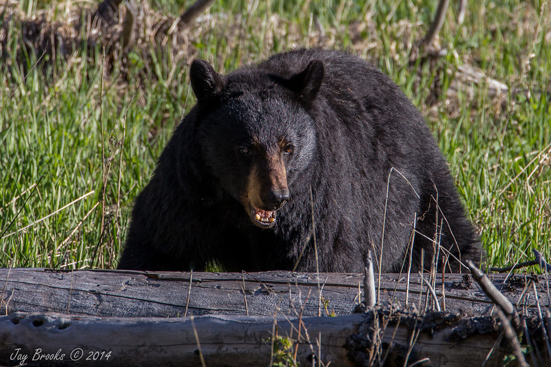 Black bear- Yellowstone National Park, Wyoming - Jay Brooks - June 2014