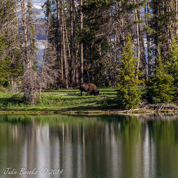 Lone Bison- Grand Teton National Park, Wyoming - Judie Brooks - June 2014