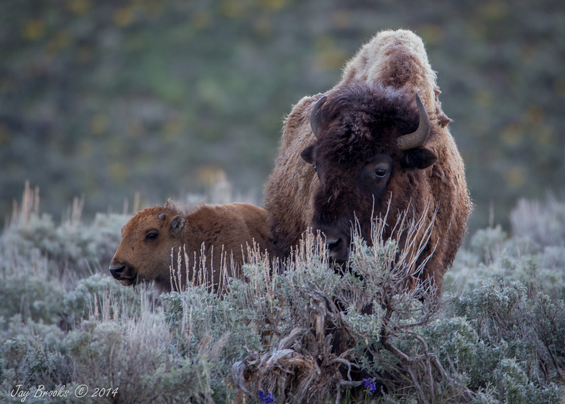 Young bison and mom- Yellowstone National Park, Wyoming - Jay Brooks - June 2014