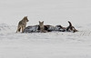 Coyotes on the Kill - Yellowstone National Park, Wyoming - Mark Gromko - January 2015