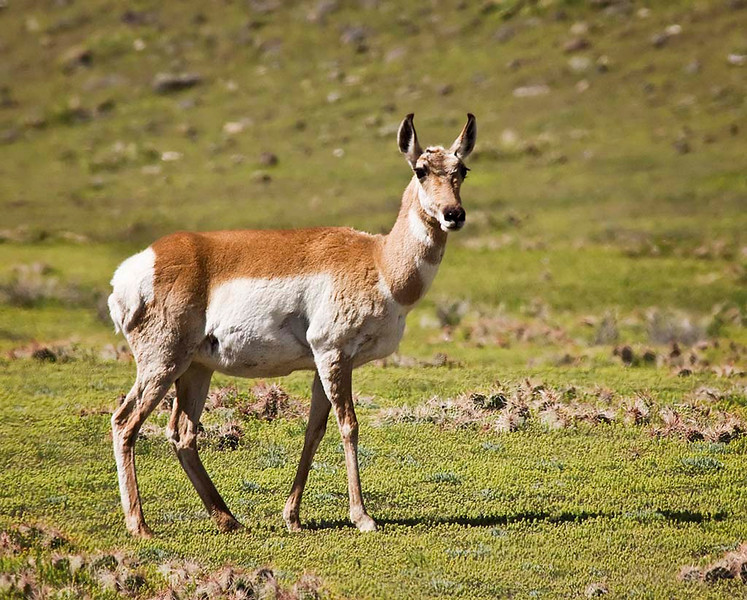 Pronghorn - Yellowstone National Park, Wyoming - Jerry Negele - May 2008