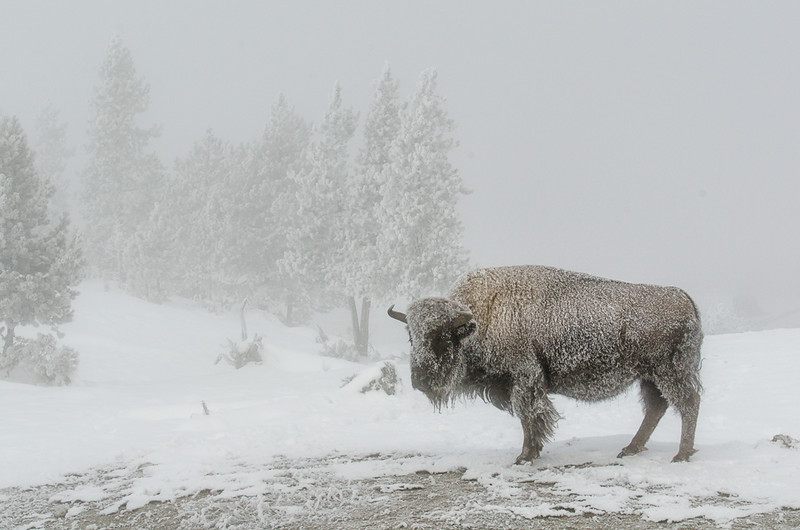 Frosted Bison - Yellowstone National Park, Wyoming  -Mark Gromko - January 2015