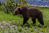 Grizzly up close- Yellowstone National Park, Wyoming - Judie Brooks - June 2014