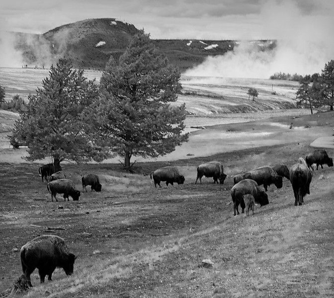 Bison on the Firehole River - Yellowstone National Park, Wyoming - John Remy - June 2011