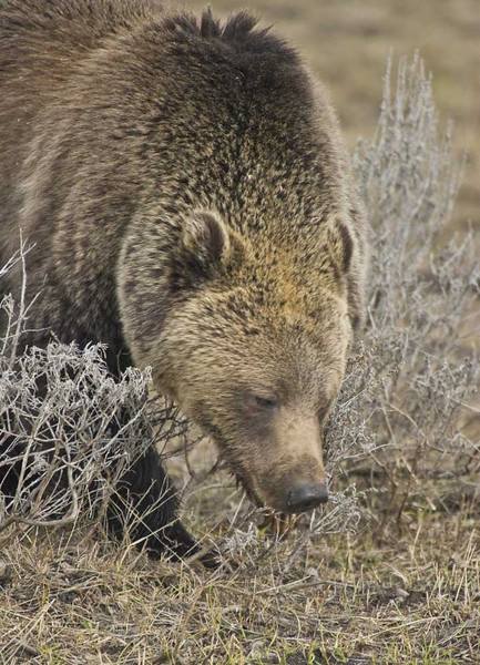 Grizzly Sow Looking for Food - Yellowstone National Park, Wyoming - Doug Beezley - May 2008