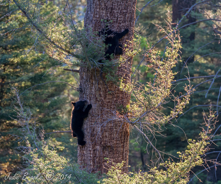 Black bear cubs- Yellowstone National Park, Wyoming - Judie Brooks - June 2014