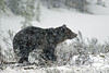 """Griz in a Bliz"" - Yellowstone National Park, Wyoming - Doug Beezley - May 2008"