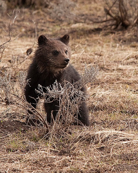 Little Griz Posing - Yellowstone National Park, Wyoming - John Remy - June 2011