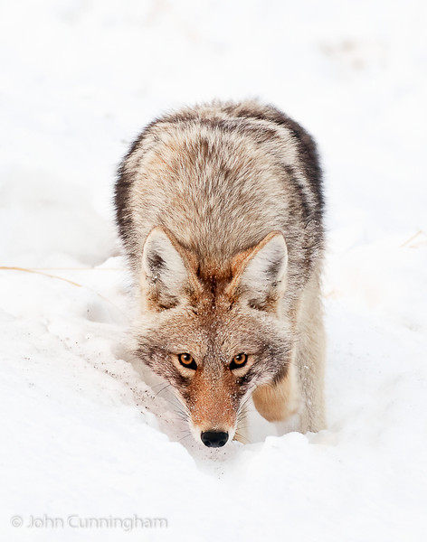 """The Eyes Have It"" - Yellowstone National Park, Wyoming - John Cunningham - January 2012"