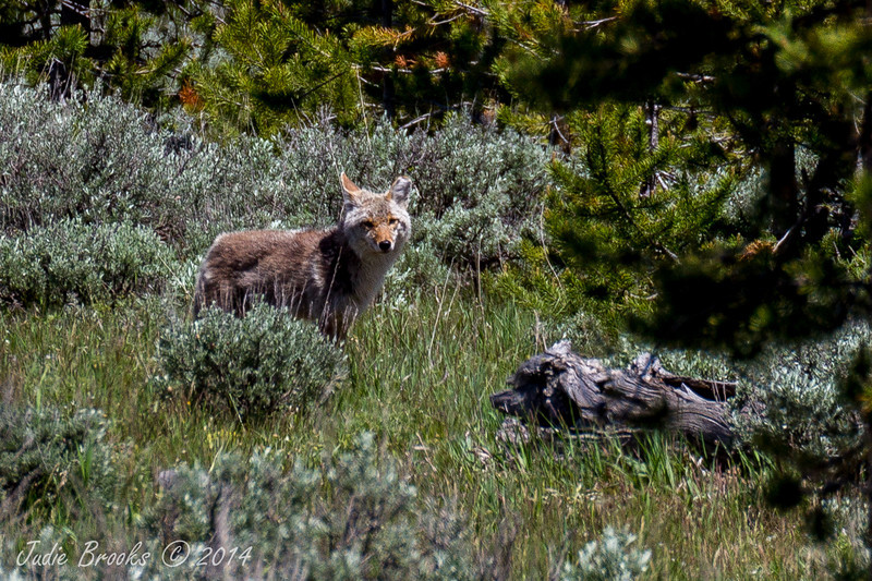 Coyote- Grand Teton National Park, Wyoming - Judie Brooks - June 2014