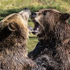 Battling Grizzlies, Grizzly Discovery Center West Yellowstone