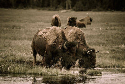 Bison Drinking from the River, Yellowstone National Park