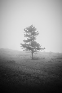 Tree in Morning Fog, Yellowstone National Park