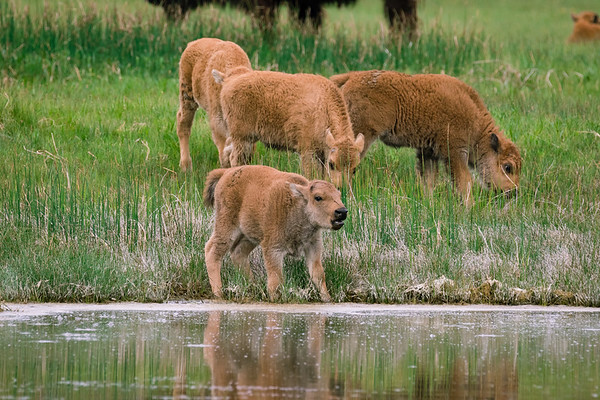 Bison calves at the river