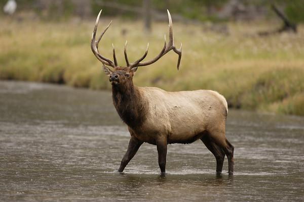 Rock Mt Elk, Bull