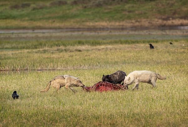 Gray Wolves at elk carcass