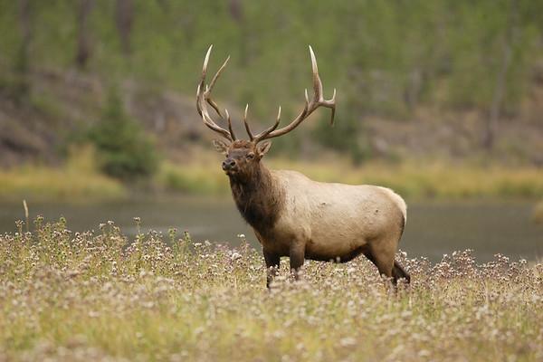 Rocky Mt Elk, bull
