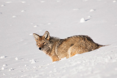 Coyote on the hunt for food