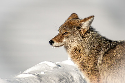 Coyote pausing to rest while on the hunt for food