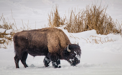 Bison in search of food