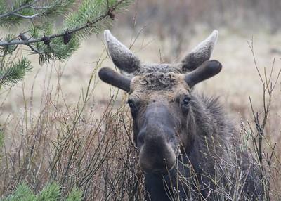 Silver Gate Moose