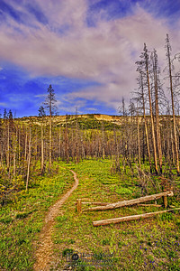 """""""The Burnt Path,"""" Burnt Lodgepole Pines at Sunset; Yellowstone National Park, Wyoming"""