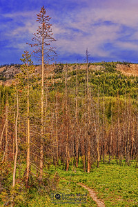 """""""Burn Zone Golden Hour,"""" Burnt Lodgepole Pines at Sunset; Yellowstone National Park, Wyoming"""