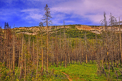 """""""Scars of the Past"""" Burnt Lodgepole Pines at Sunset; Yellowstone National Park, Wyoming"""