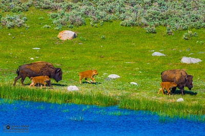 Bison Family, Yellowstone National Park