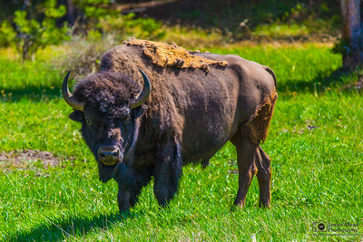"""Bison Stare,"" Yellowstone National Park"