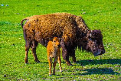 """Mother and Calf,"" Yellowstone National Park"