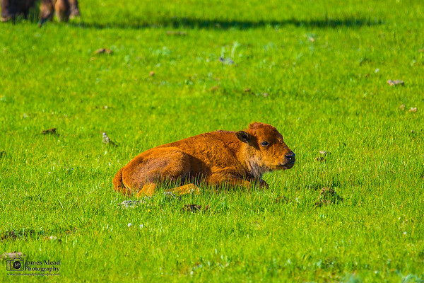"""""""Time to Relax,"""" Yellowstone National Park"""