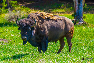 Bull Bison, Yellowstone National Park