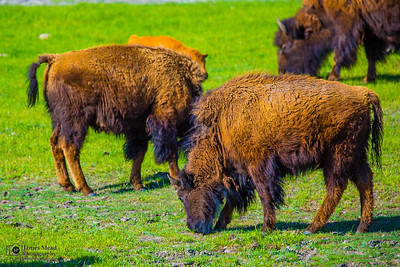 Bison Herd Grazing, Yellowstone National Park